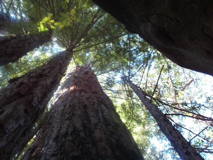 falcon rock  old growth TREES